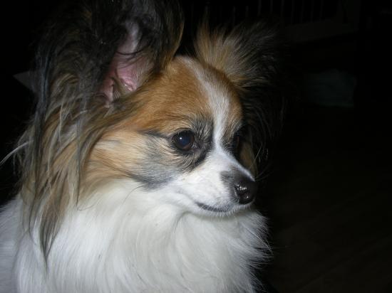 poussy junior femelle tricolor